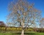 Notenboom snoeien