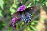Vlinderstruik snoeien